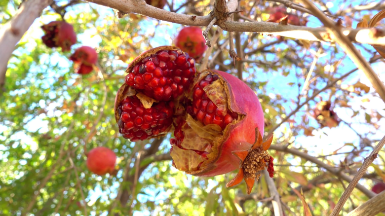 pomegranate-on-tree-against-the-blue-sky